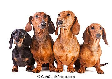 vier, dachshund, hunden, sitzen, auf, freigestellt, weißes
