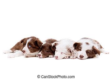 vier, eingeschlafen, rand- collie, hundebabys, reihe