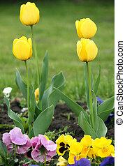 vier, gelbe tulpe, blume, springen jahreszeit