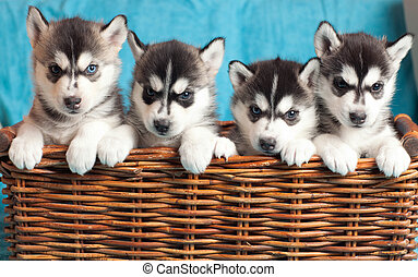 vier, hundebabys, heiser