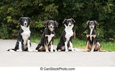 vier, hundebabys, rand- collie