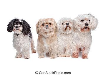 vier, hunden