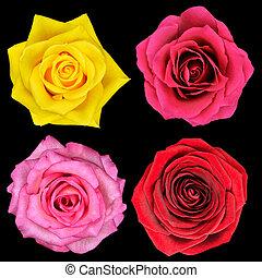 vier, perfect, roos, bloem, vrijstaand, op, black