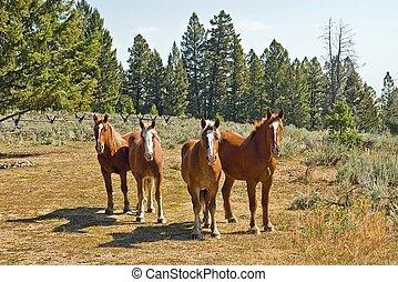 vier, pferden
