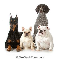 vier, purebred, verschieden, hunden