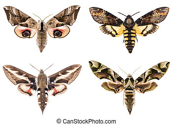 vier, set, hawk-moths, sphingidae