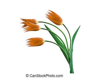 vier, tulpen, freigestellt