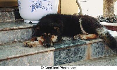 vietnam, asleep., chien, asie