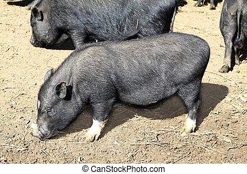 vietnam black little pig eating on clay floor