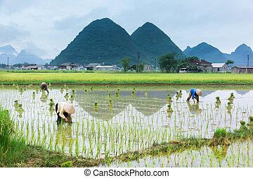 vietnam, granjero, crecimiento, arroz, en, el, campo
