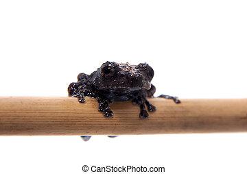 Vietnam mossy frogling, Theloderma vienamense, on white -...