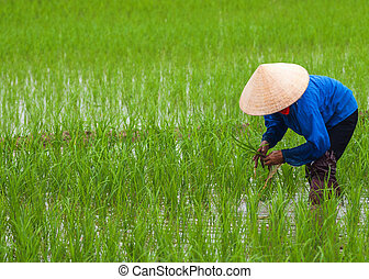 Vietnam: planting rice. - Blue and beige on green.
