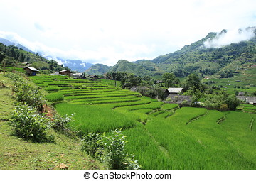 Vietnam Ricefields - the ricefields and terrace in vietnam