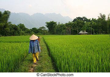 Vietnam - Paddy field and farmer in Vietnam