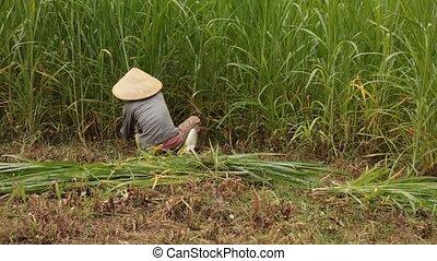 Vietnamese Farmer Working - A Vietnamese farmer cutting down...