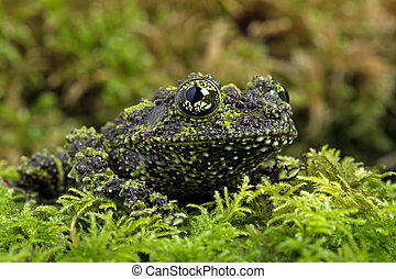 Vietnamese Mossy Frog camouflaged on mossy background