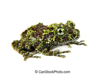 Vietnamese Mossy Frogling isolated on white - Vietnamese...