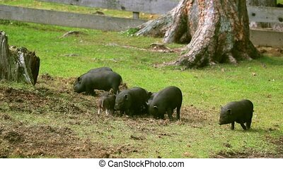 Vietnamese pigs graze on the lawn with fresh green grass.