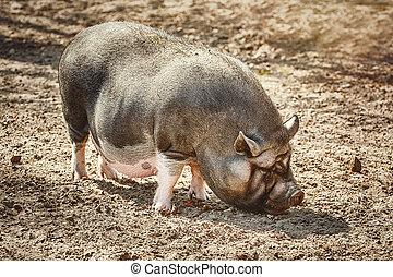Vietnamese Pot-Bellied Pig - Vietnamese pot-bellied pig ...