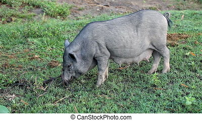 Vietnamese Potbelly Pig digging the meadow with his snout