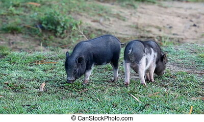 Vietnamese Potbelly Piglets on the meadow