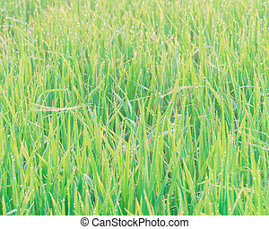 Vietnamese white rice field with dew drops and spider webs close-up