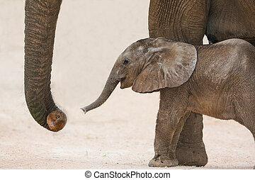 vieux, africaine, maman, éléphant, bébé, jour