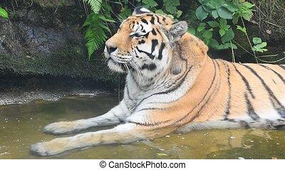vieux, amur, haut, tigre sibérien, fin, portrait