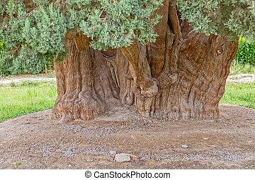 vieux, arbre cèdre, coffre