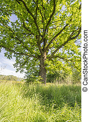 vieux, arbre chêne