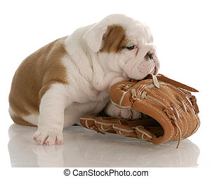 vieux, bouledogue, -, gant, quatre, base-ball, anglaise, mastication, semaines, chiot