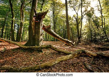 vieux, grand arbre, automne, cassé, forêt, coffre