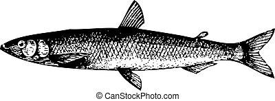 vieux, gravure, de, a, européen, éperlan, fish, ou, osmerus, eperlanus