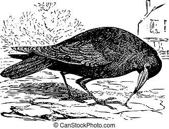 vieux, gravure, de, a, freux, oiseau, ou, corvus, frugilegus