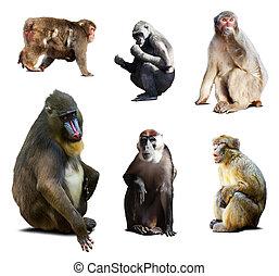 vieux, mandrill, autre, mondiale, singes