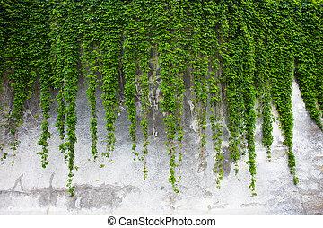 vieux, mur, béton, vert, couvert, lierre