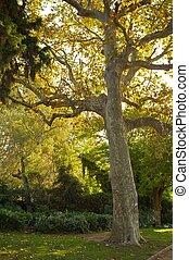 vieux, park., arbre