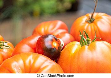 vieux, récolte, variétés, tomates