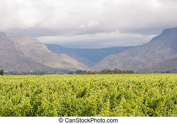 View accross vineyards to the Hawequas Mountains