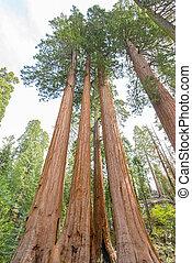 Gigantic Sequoia trees in Sequoia National Park, California USA