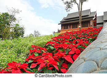 View beautiful red Poinsettia christmas flower and wooden church