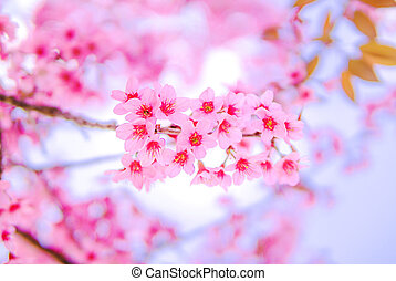 beautiful Wild Himalayan Cherry Blossom