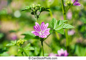 View close up of the wild flower of a Mallow with natural background. Malva Silvestris