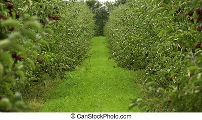 View down a green aisle in apple orchard - View down the...