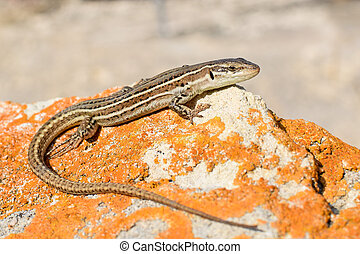 Dalmatian wall lizard - View from above on the Dalmatian...