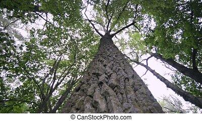 powerful poplar tree - view from bottom of powerful poplar...