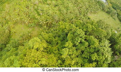 View from the height of the jungle with a group of palms. Philippines.