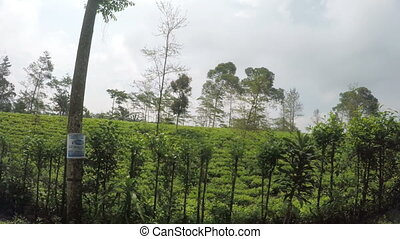 View from the moving car on a tea plantation, Java, Indonesia