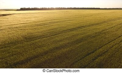 View from the quadrocopter to a wide wheat field