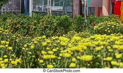 View from Yellow Chrysanthemums to Mandarin Tree at Sunlight